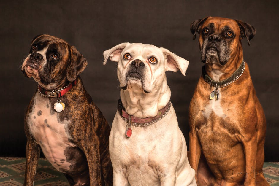 przydatne pastuchy szczególnie dla dużych psów